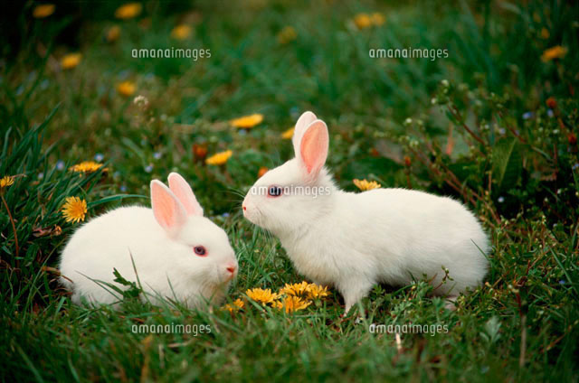 ウサギ (c)AKIRA MATOBA/a.collectionRF