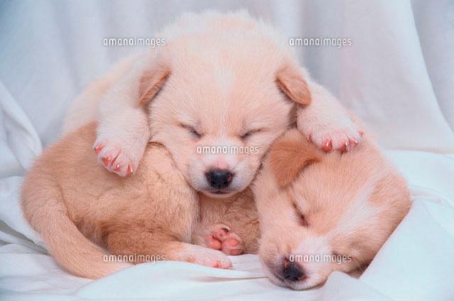 眠る2匹の子犬 (c)AKIRA MATOBA/a.collectionRF