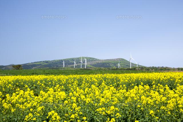六ヶ所村の菜の花と風力発電