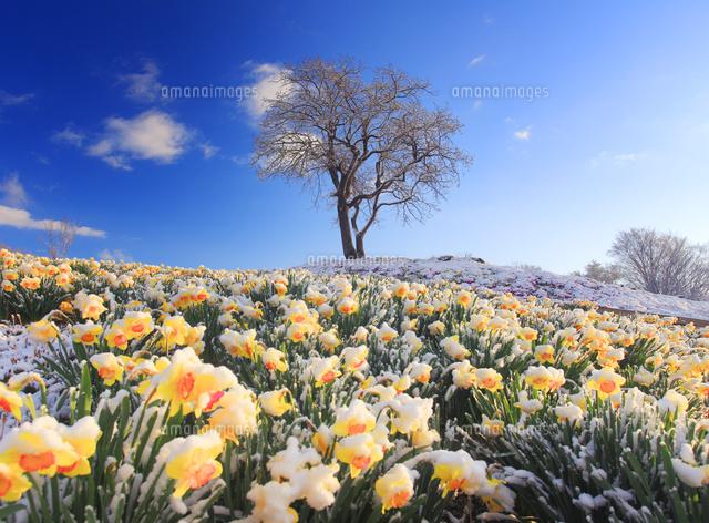 雪の積もったスイセンの花畑と木立 (c)Mitsushi Okada/a.collectionRF