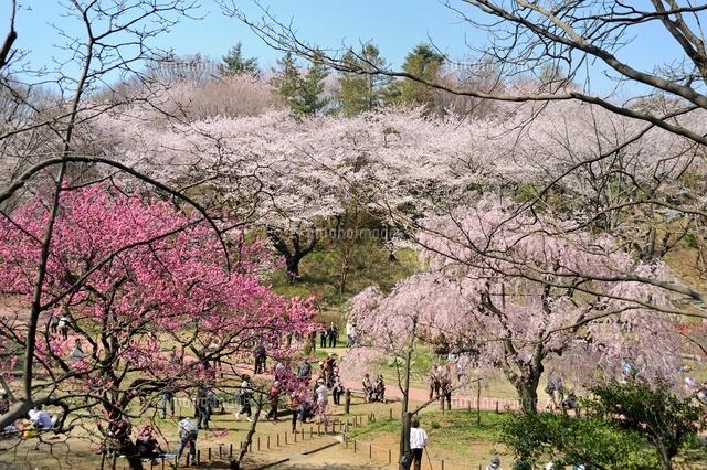 桜咲く三ツ池公園 (c)HIROAKI OTSUBO/a.collectionRF