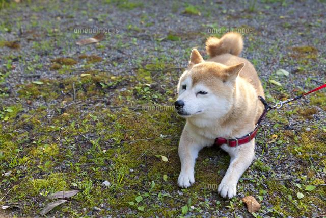 休息する柴犬 (c)officek/a.collectionRF