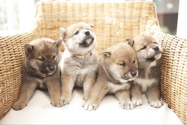 イスの上の4匹の犬(柴犬) (c)Shinya Sasaki/a.collectionRF