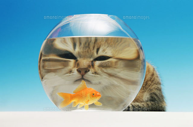 Cat watching a goldfish