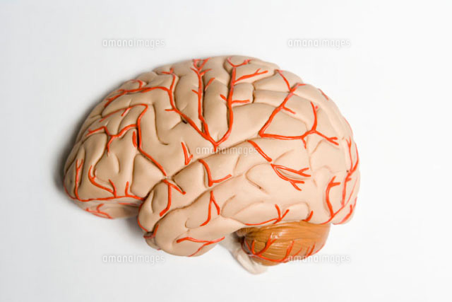 An anatomical model of human brain