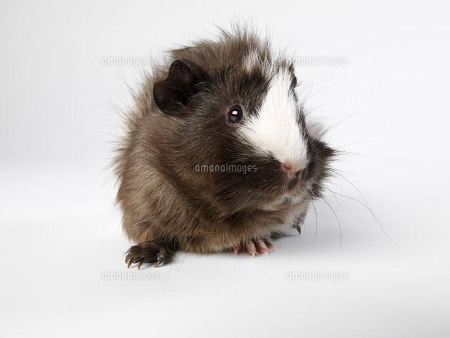 Guinea Pig (c)Radius Images