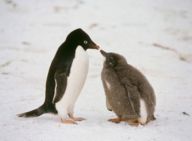 アデリーペンギンの画像 p1_26