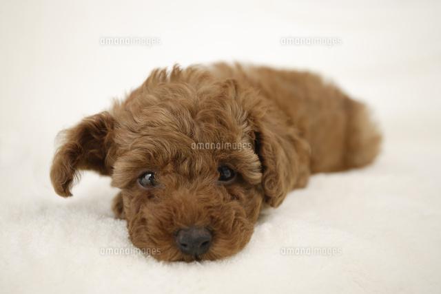 ブランケットの上で眠る子犬 (c)mon printemps