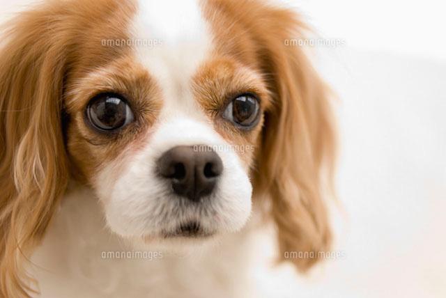 キャバリア犬 (c)DAJ