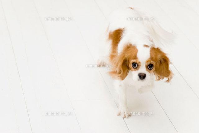 歩くキャバリア犬 (c)DAJ