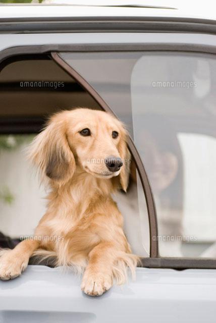 車窓のミニチュアダックスフント (c)DAJ