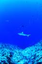 ドロップオフを悠然と泳ぐサメ