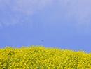 菜の花とテントウムシ