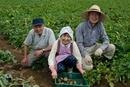 ジャガイモを収穫する