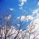 青空と白い雲を背景に赤い実をつけた落葉樹