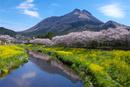 由布岳と桜並木