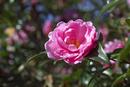 ピンクのサザンカの花