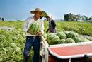 スイカの収穫