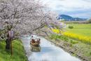 日本の桜風景 近江八幡水郷めぐりの船(ヨコ写真)