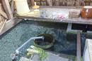 針江生水の郷 かばた(川端)と鯉