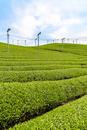 日本五大銘茶産地・朝宮の茶畑(タテ写真)
