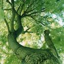 イギリスのゴールドスミスカレッジの中庭で下から見上げたヤナギの木