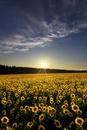 夕暮れの向日葵畑