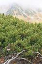 秋の立山・室堂平のハイマツに2羽のライチョウと霧に霞む雄山