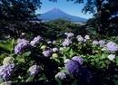 富士見孝徳公園のアジサイと富士山