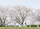 桜並木を歩く女性