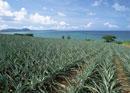 パイナップル畑と海