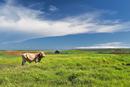 Penghu, Taiwan, Asia, Rural Scene, Cattle,