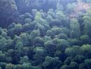 木々の中に生えるシダレザクラ