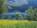 北竜湖とナノハナ