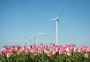 Field with pink tulip blooms and wind turbines, Zeewolde, Flevoland, Netherlands