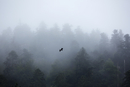 Eagle flying over misty forest