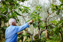Senior man traditionally harvesting green figs, Italy