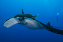 Giant Manta (Manta Birostris) with large remora attached on top of its eye, diver in background