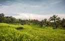 Green Jatiluwih rice terrace, Bali, Indonesia