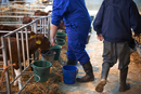 Farm workers feeding calves in cattle shed