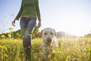 Low angle view of mature woman walking labrador retriever in sunlit wildflower meadow
