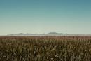 Field of corn in rural landscape