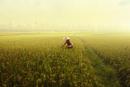 Pacific Islander woman harvesting crop in rice field