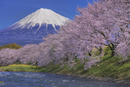 富士山と潤井川龍巌淵の桜
