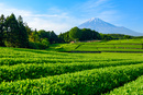 新茶畑と富士山