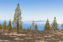 Canary Island pine at La Gomera Island, UNESCO World Heritage Site, Teide National Park, Tenerife, Canary Islands
