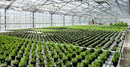 Organic Herbs in Greenhouse, Laugaras, South Iceland, Icelan