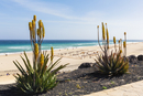 Blooming Aloe Plants by Promenade above Beach and Sea, Morro Jable, Fuerteventura, Canary Islands, Spain