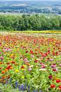 ダリアの花畑