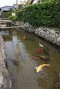 萩、藍場川の鯉